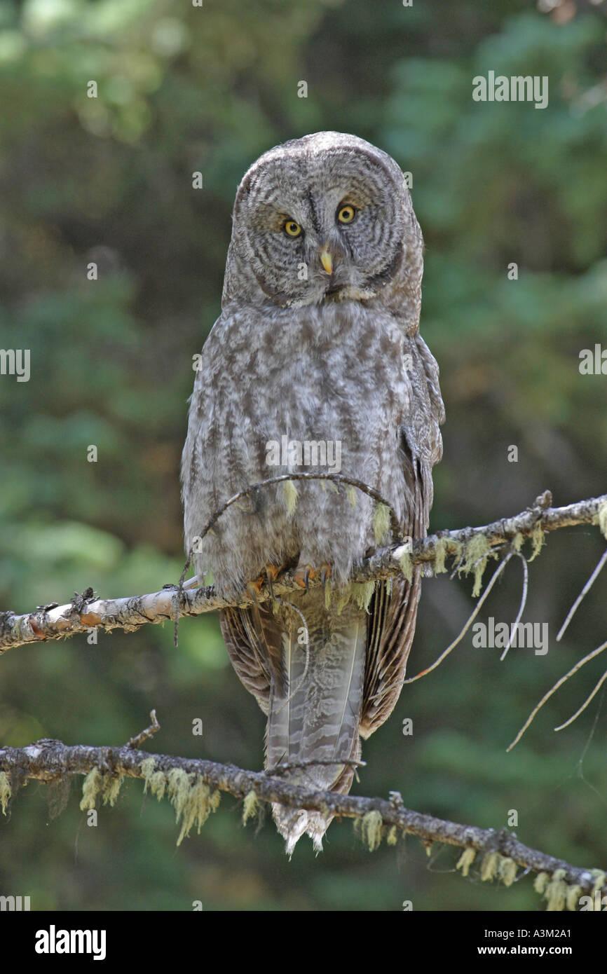 Great Grey Owl Strix nebulosa Yellowstone Nat Pk USA - Stock Image