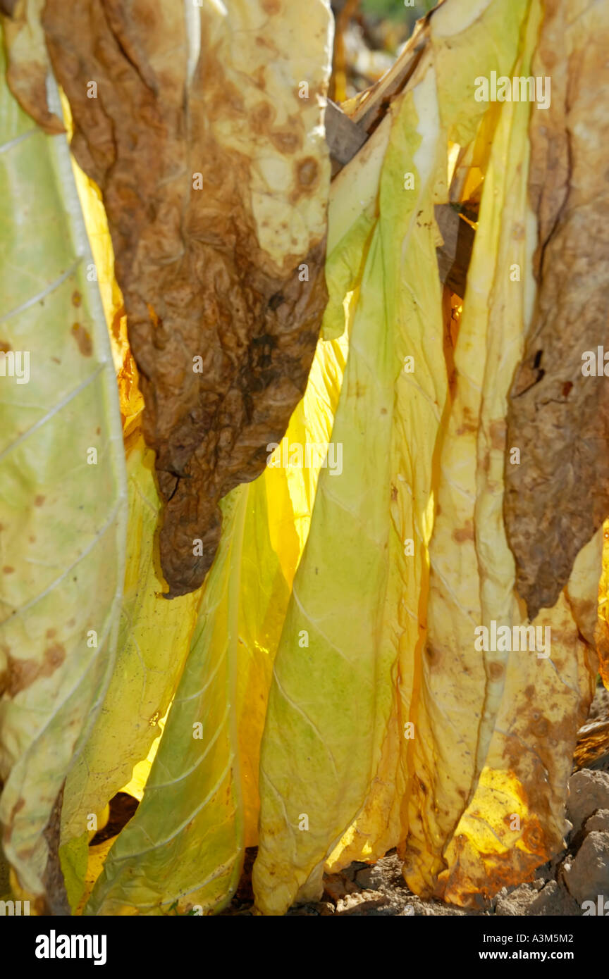 Burley tobacco leaves - Stock Image