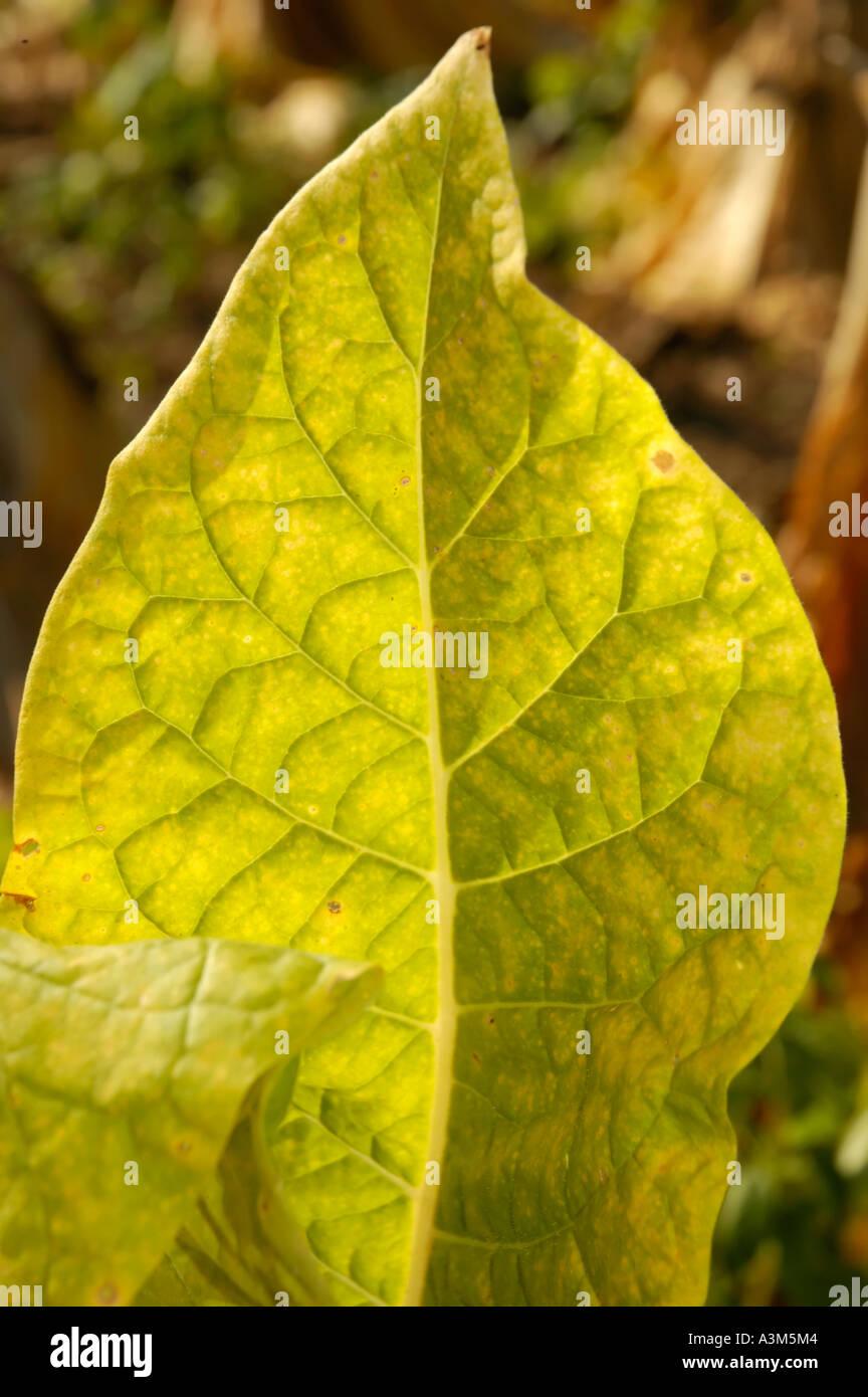 Burley tobacco leaf - Stock Image