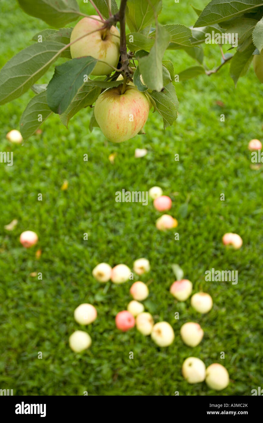 Fallen apples underneath apple tree and branch of apples Stock Photo