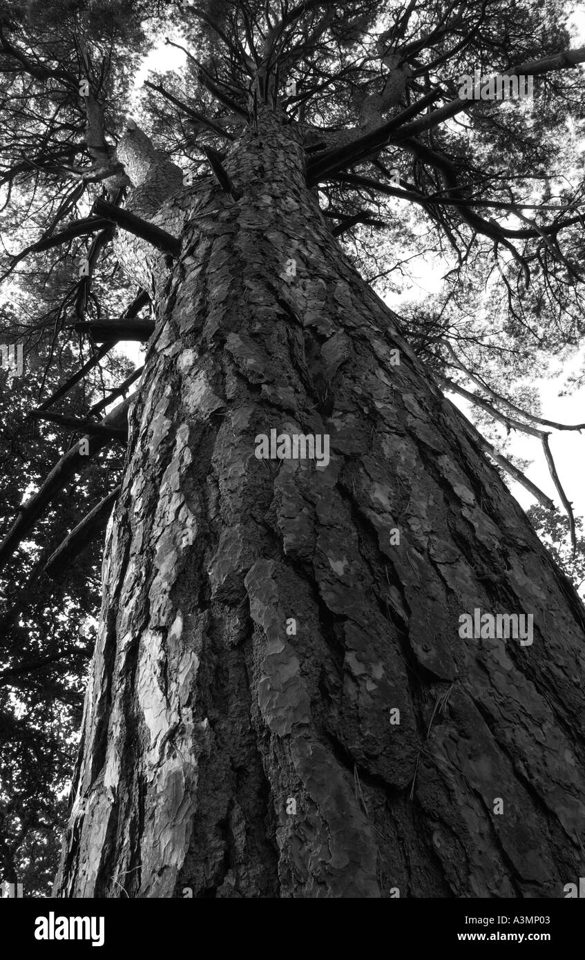 Tall pine tree viewed from below in woodland in Oxfordshire England - Black & White - Stock Image