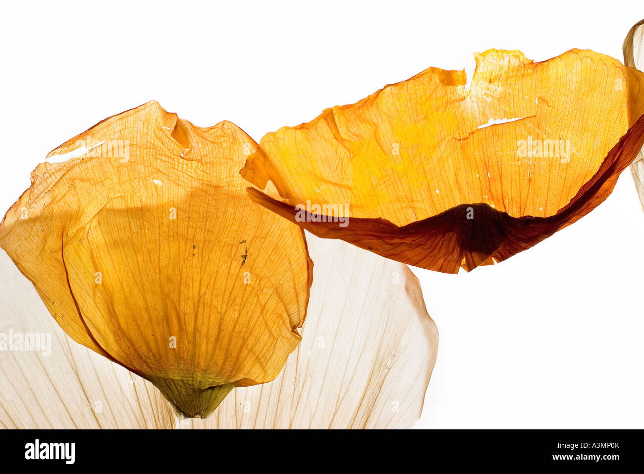Dry Poppy Petals Stock Photo 10820322 Alamy