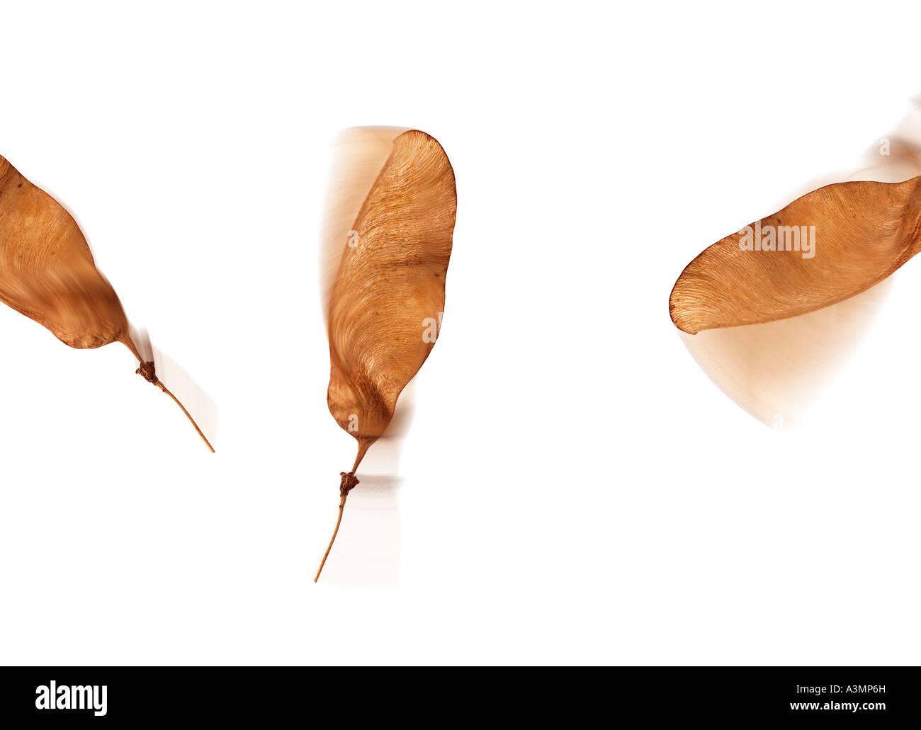 Flying seeds - Stock Image