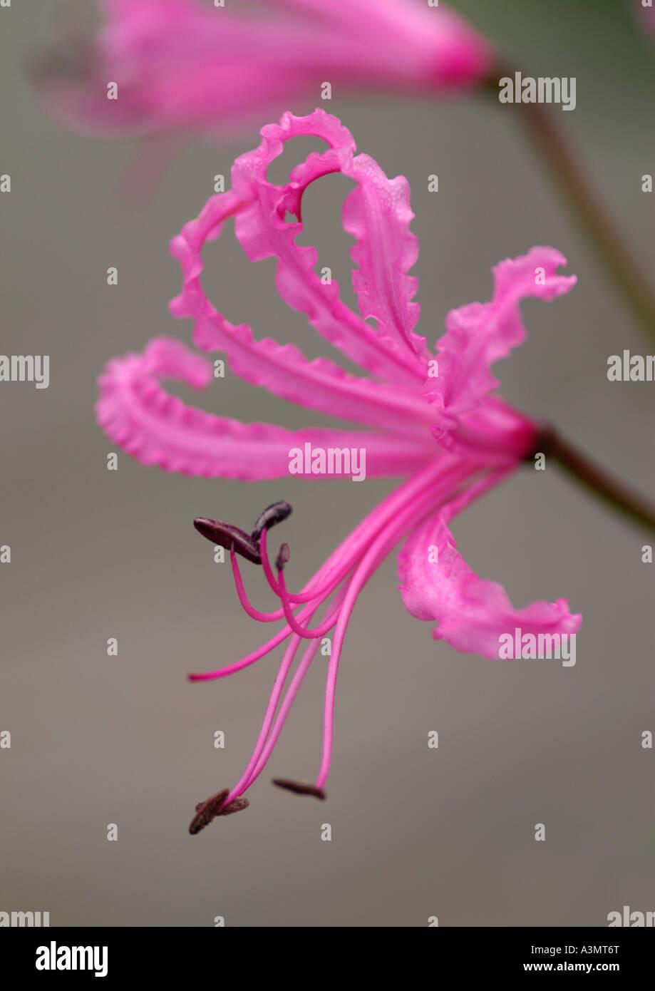 Close up of Nerine bowdenii wellsii - Stock Image