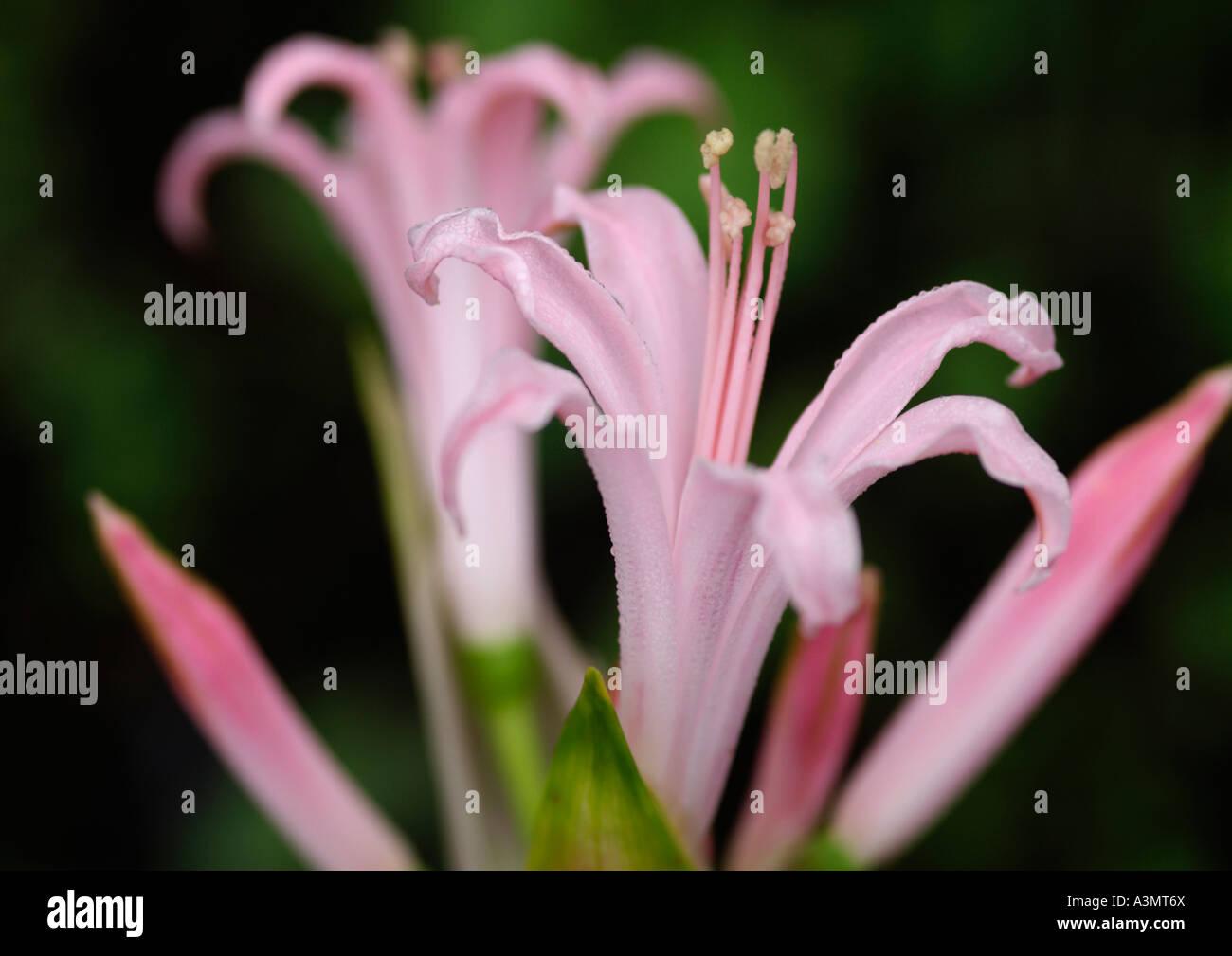 Nerine bowdenii Marine Rogerson - Stock Image