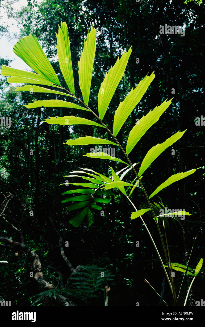Young backlit leaf or frond of palm Socratea exorrhiza Tropical Rain Forest Amazon Region Brazil - Stock Image