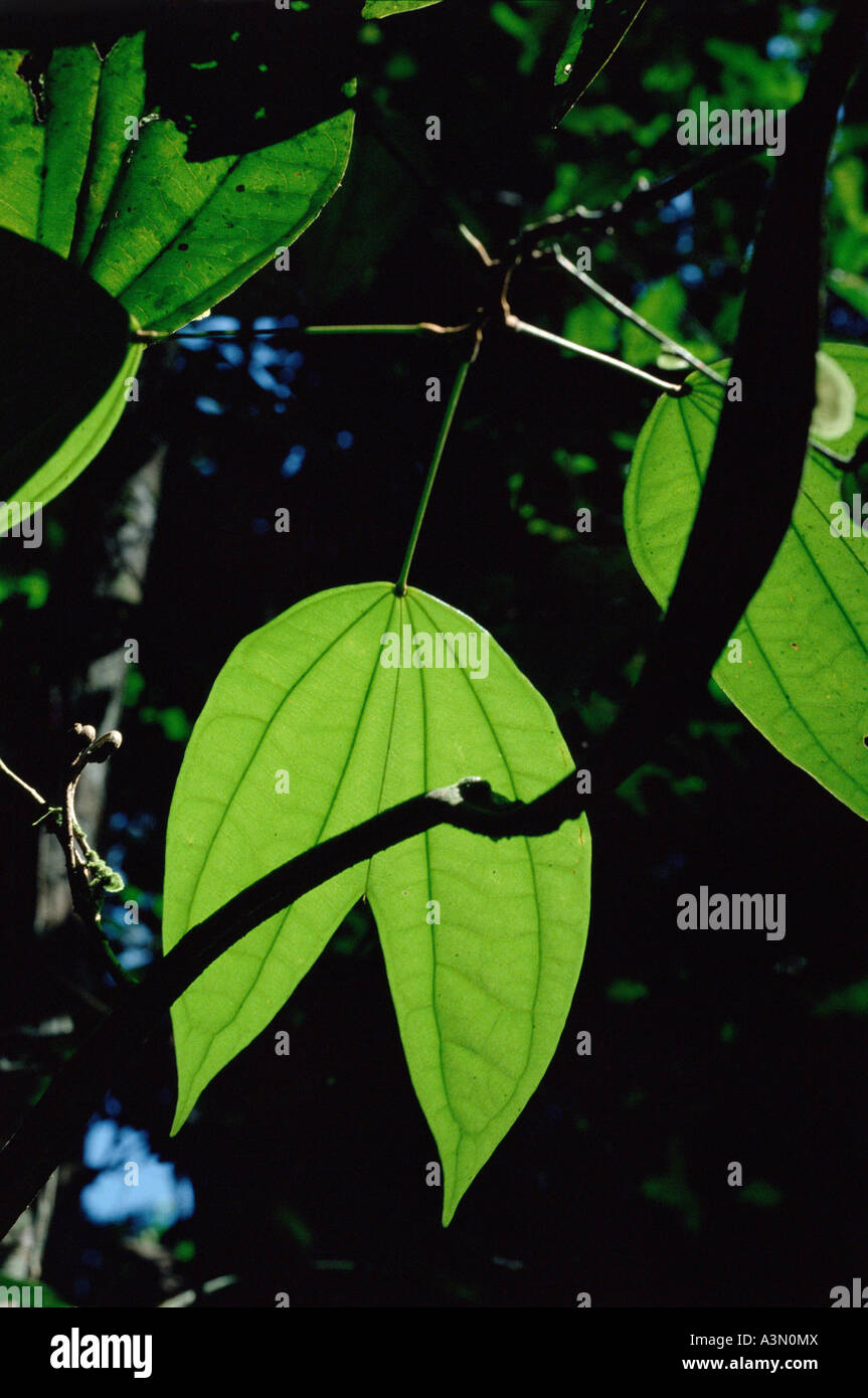 Backlit leaf of vine Bauhinia sp of Leguminosae family in Tropical Rain Forest Amazon region Para Brazil - Stock Image