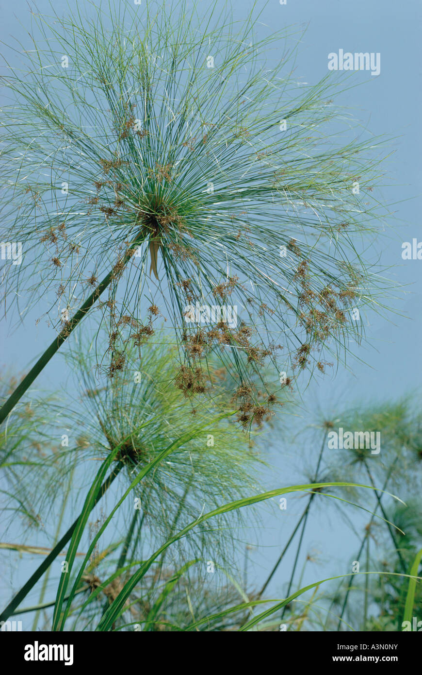 Cyperus papyrus of Cyperaceae family lake side and marshes of Islands of Lake Chad Chad Africa - Stock Image