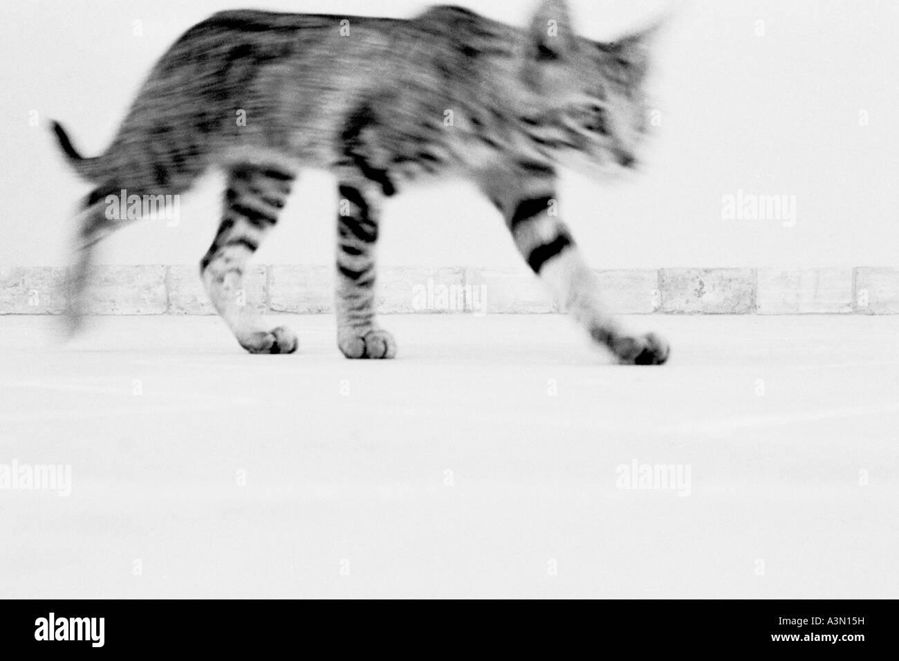 Walking cat - Stock Image