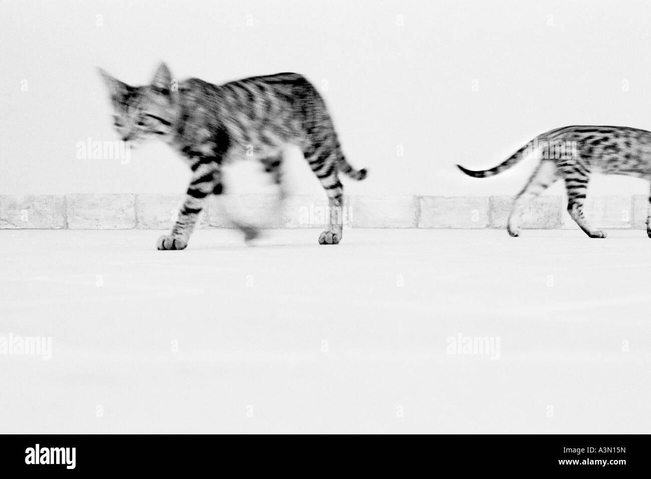 Walking cats - Stock Image