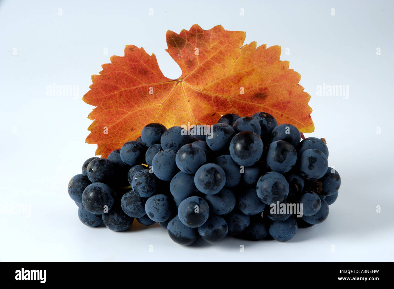 Grapes 'Regent'  - Stock Image