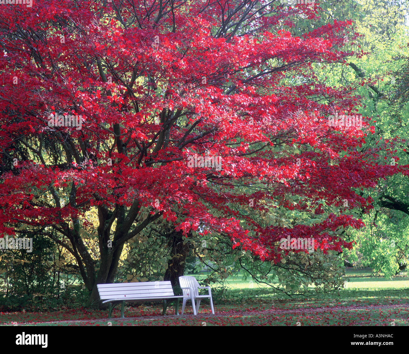bench under tree with autumn colours - Stock Image