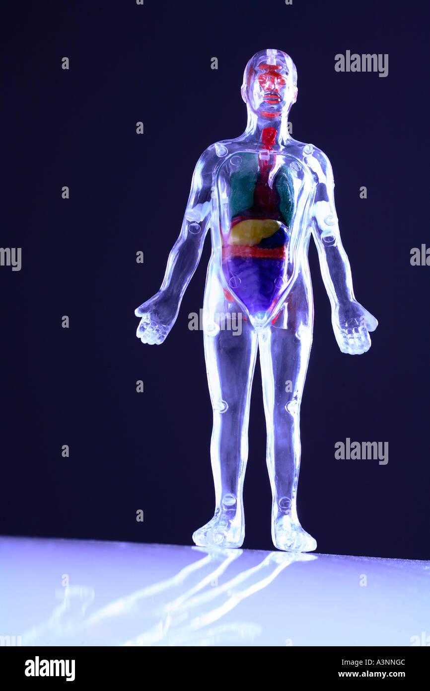 Clear Plastic Human Body Model - Stock Image