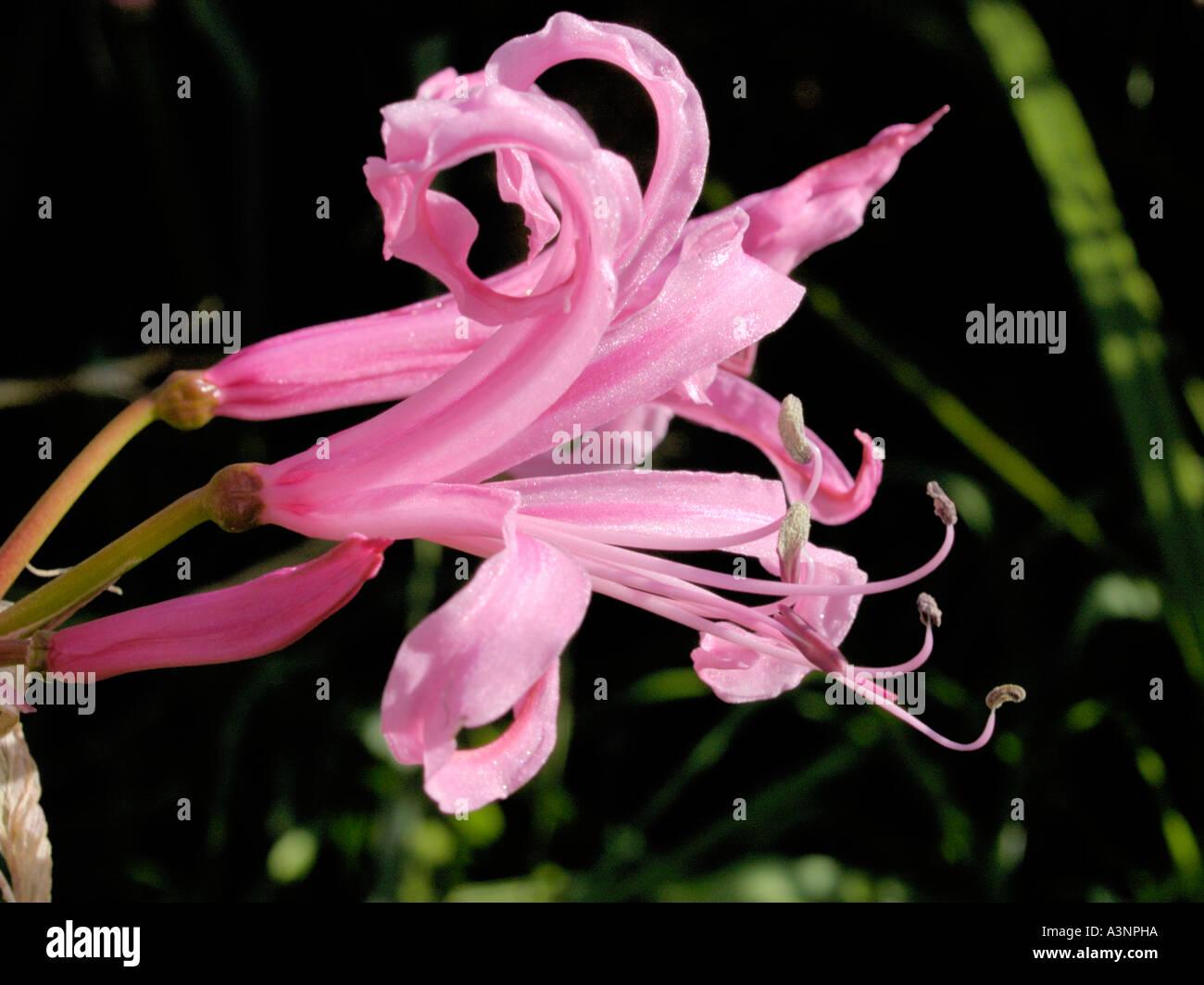 Cape Flower, Nerine bowdenii. - Stock Image