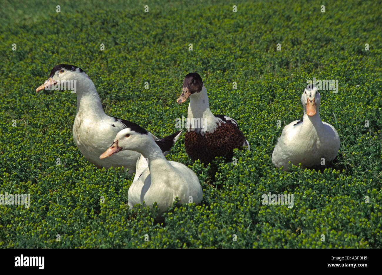 group of ducks toddling on field - Stock Image