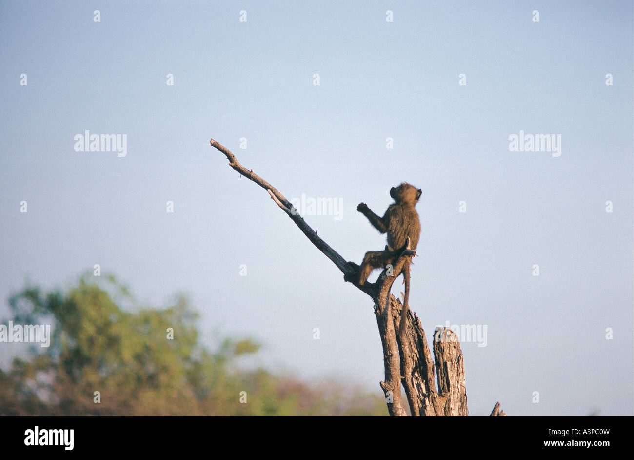 Young Olive Baboon perched on dead tree stump in Samburu National Reserve Kenya - Stock Image
