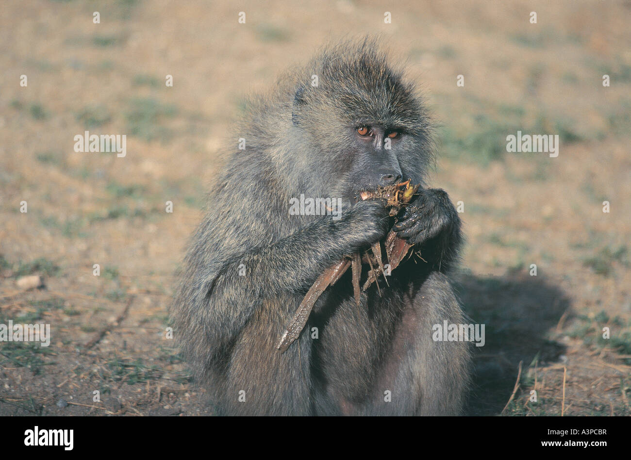 Olive Baboon eating roots from a pool in Serengeti National Park Tanzania - Stock Image