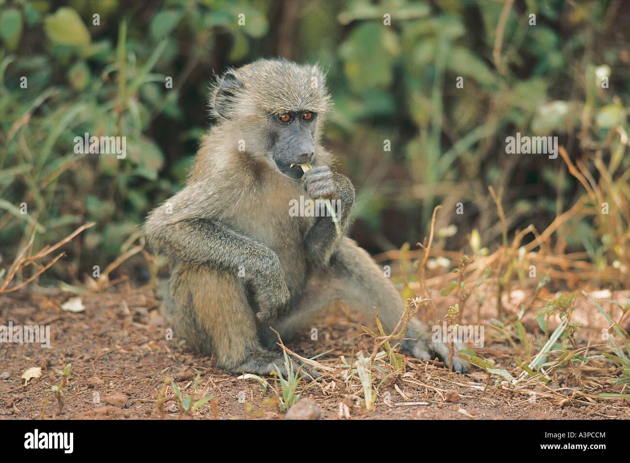 Young Olive Baboon eating grass at Lake Manyara National Park Tanzania - Stock Image