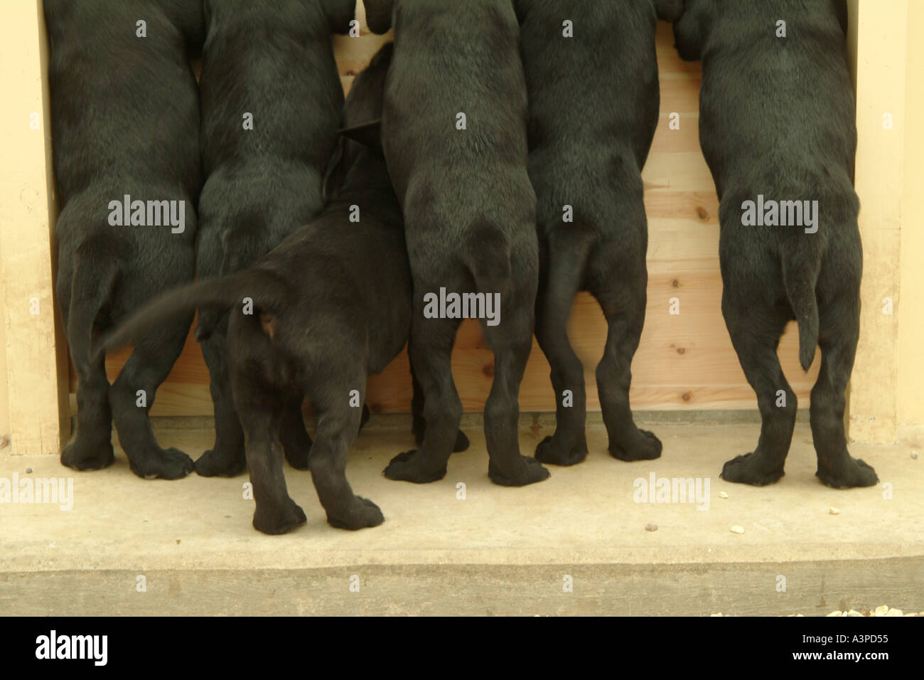 Black Labrador puppies wagging tails Cotswolds England UK Europe - Stock Image