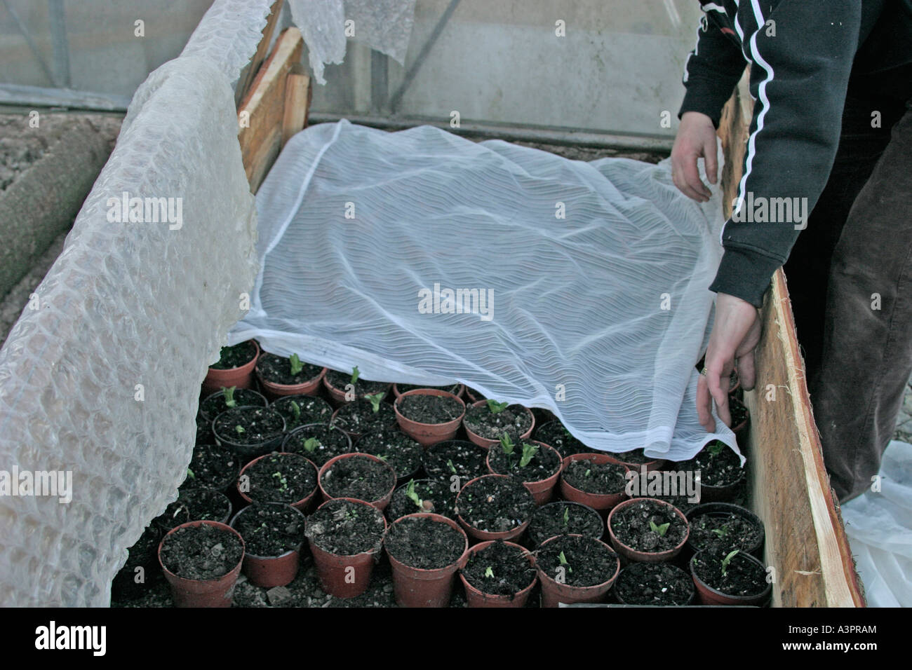 FROST PROTECTION COVER PLANTS WITH NET CURTAINS FOR ADDITIONAL PROTECTION - Stock Image