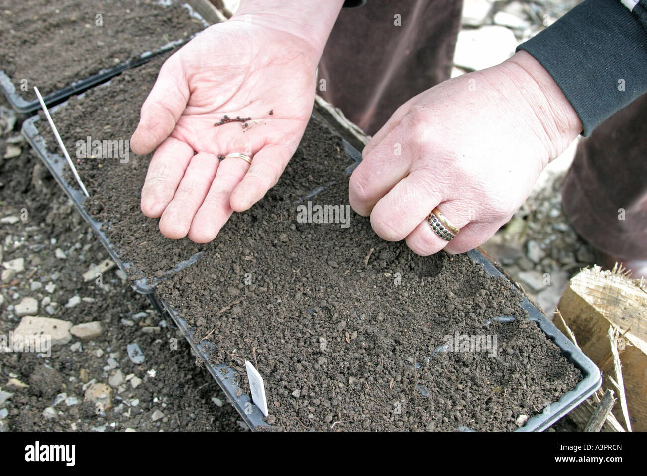 SOWING CABBAGE SEED PRIMO IN MODULES - Stock Image