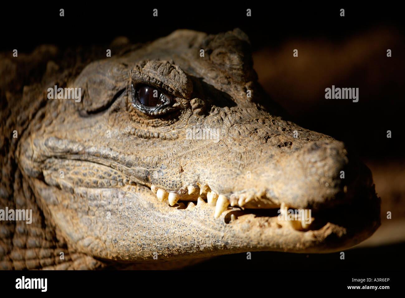 West African Dwarf Crocodile (Osteolaemus tetraspis tetraspis) Stock Photo