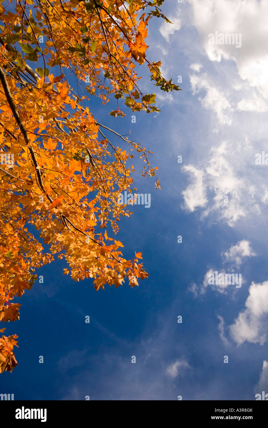 Sycamore tree  autumn Bedgebury National Pinetum UK  Kent - Stock Image