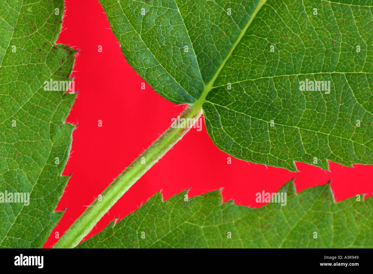 Bright green blackberry leaves against a red background - Stock Image