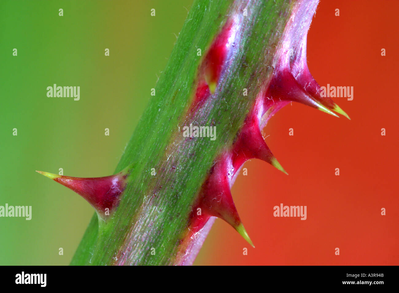 A blackberry cane or stem against a colorful background - Stock Image