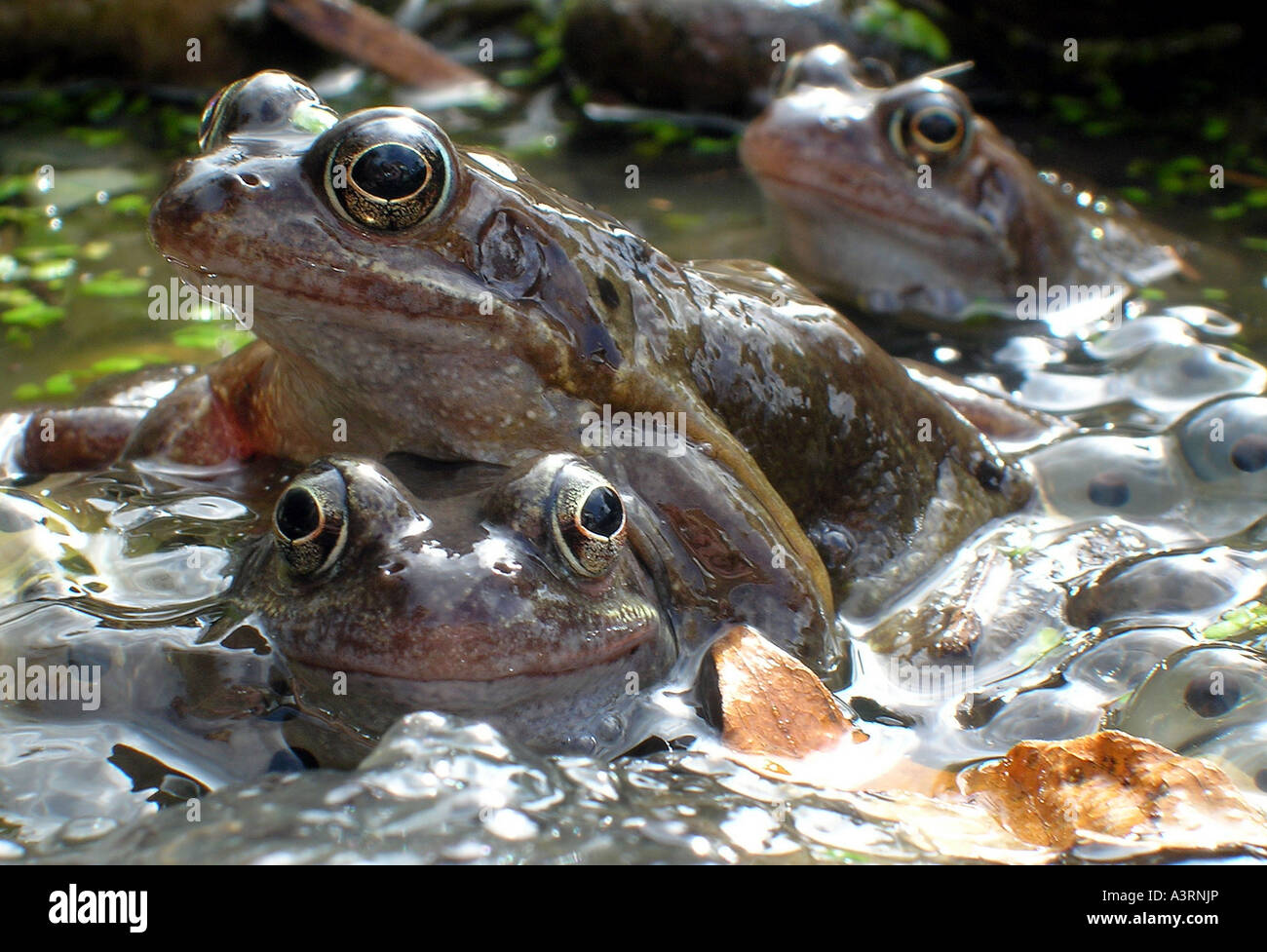 BRITISH FROGS MATING WITH FROGSPAWN RE SRINGTIME SPRING NATURE REPRODUCTION ANIMALS WILDLIFE TADPOLES TOADS WILDLIFE - Stock Image