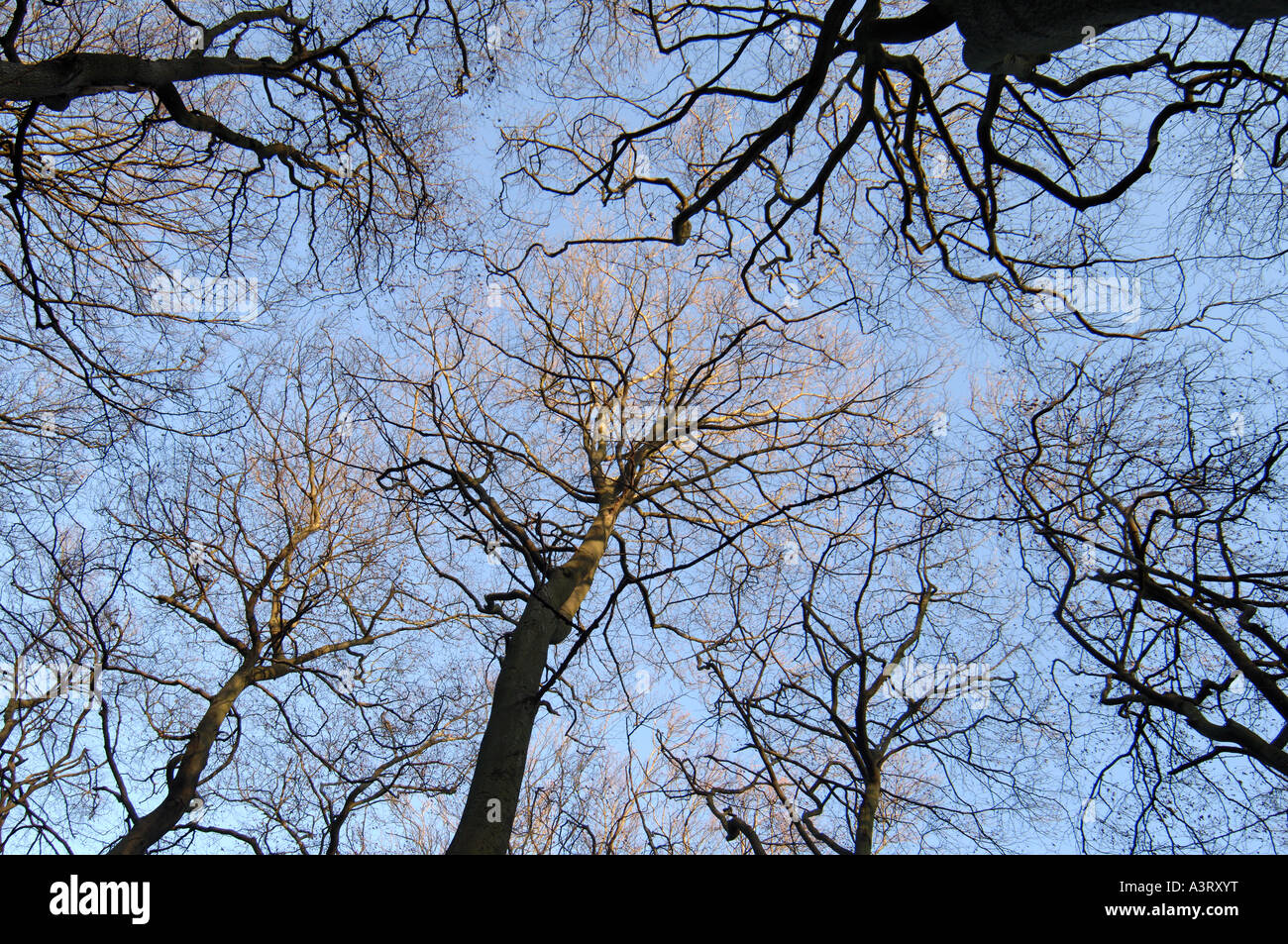 Woodland in wintertime up through a canopy of trees to vivid blue sky - Stock Image