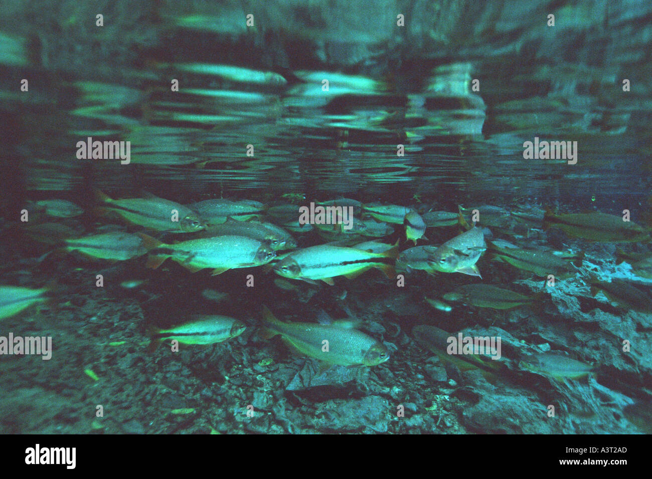 Piraputangas in national freshwater spring preserve Brycon hilarii Aquário natural Bonito Brazil Stock Photo