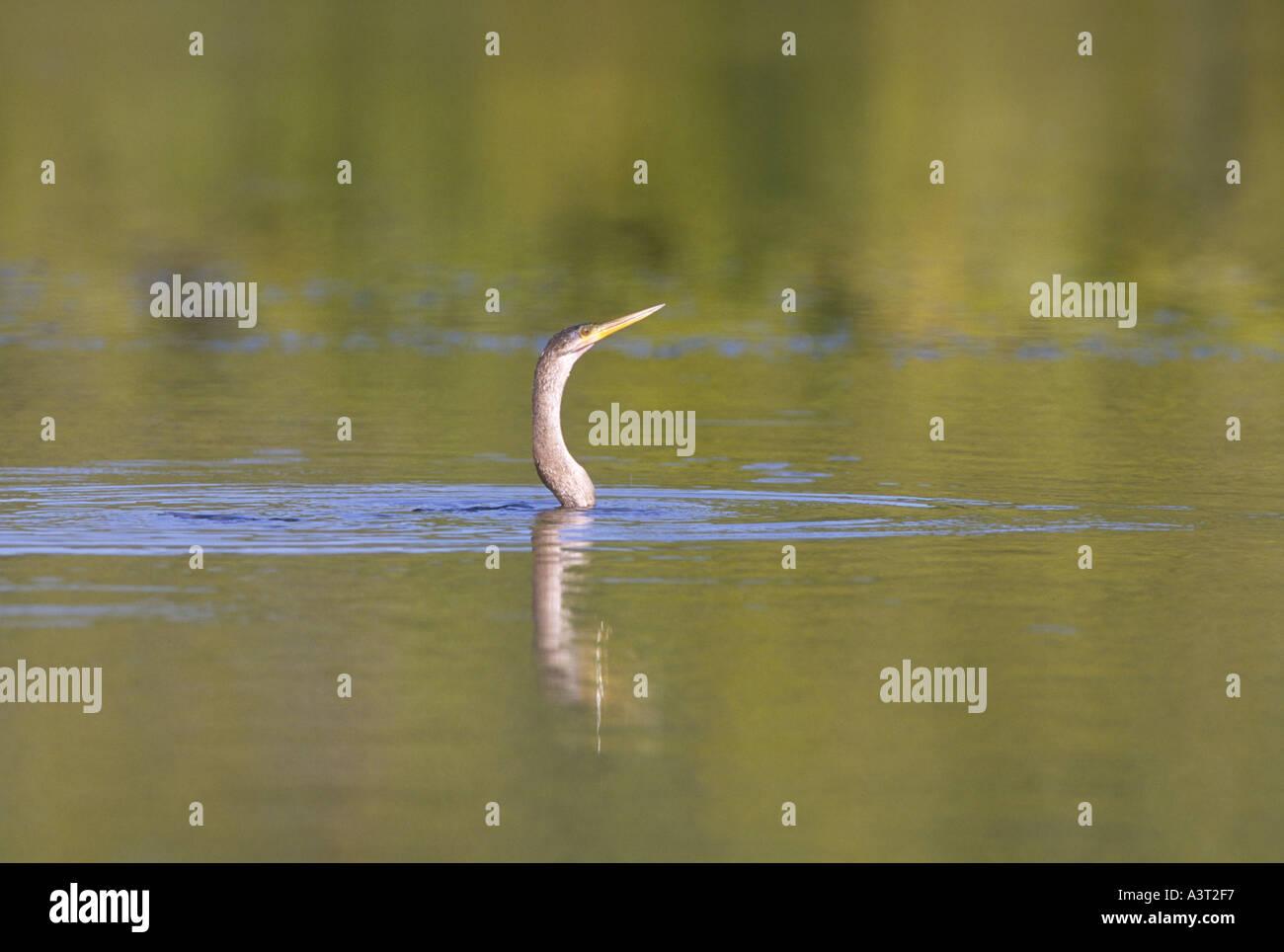 Anhinga hunting for fish in a small pond Anhinga anhinga Captiva Island Florida USA Hal Brindley V W Stock Photo