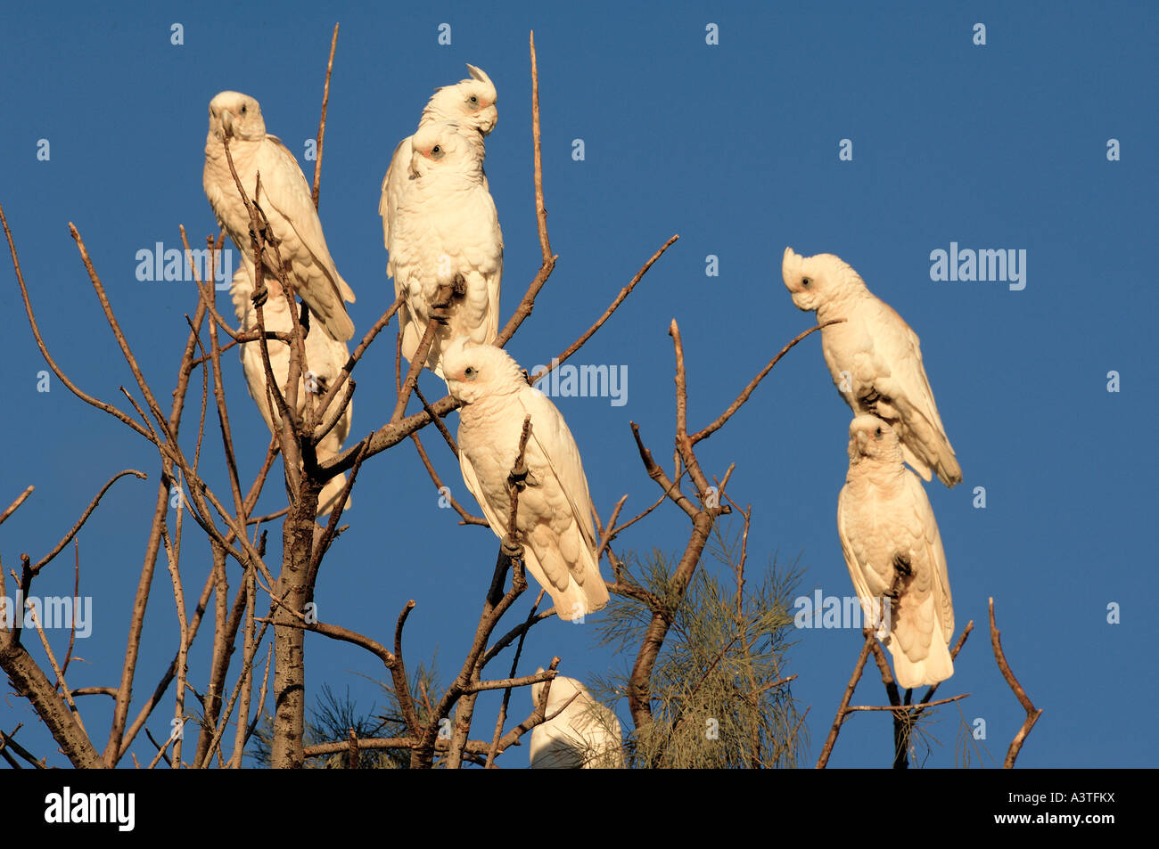 Little corella, Cacatua sanguinea, southaustralia, australia - Stock Image