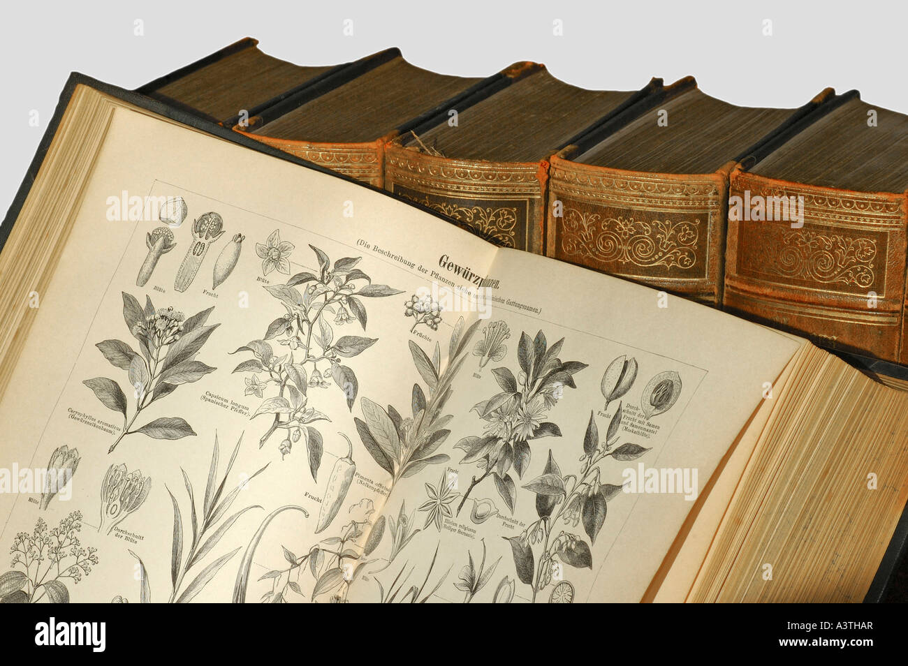 Illustrations of spice plants in an old encyclopedia - Stock Image