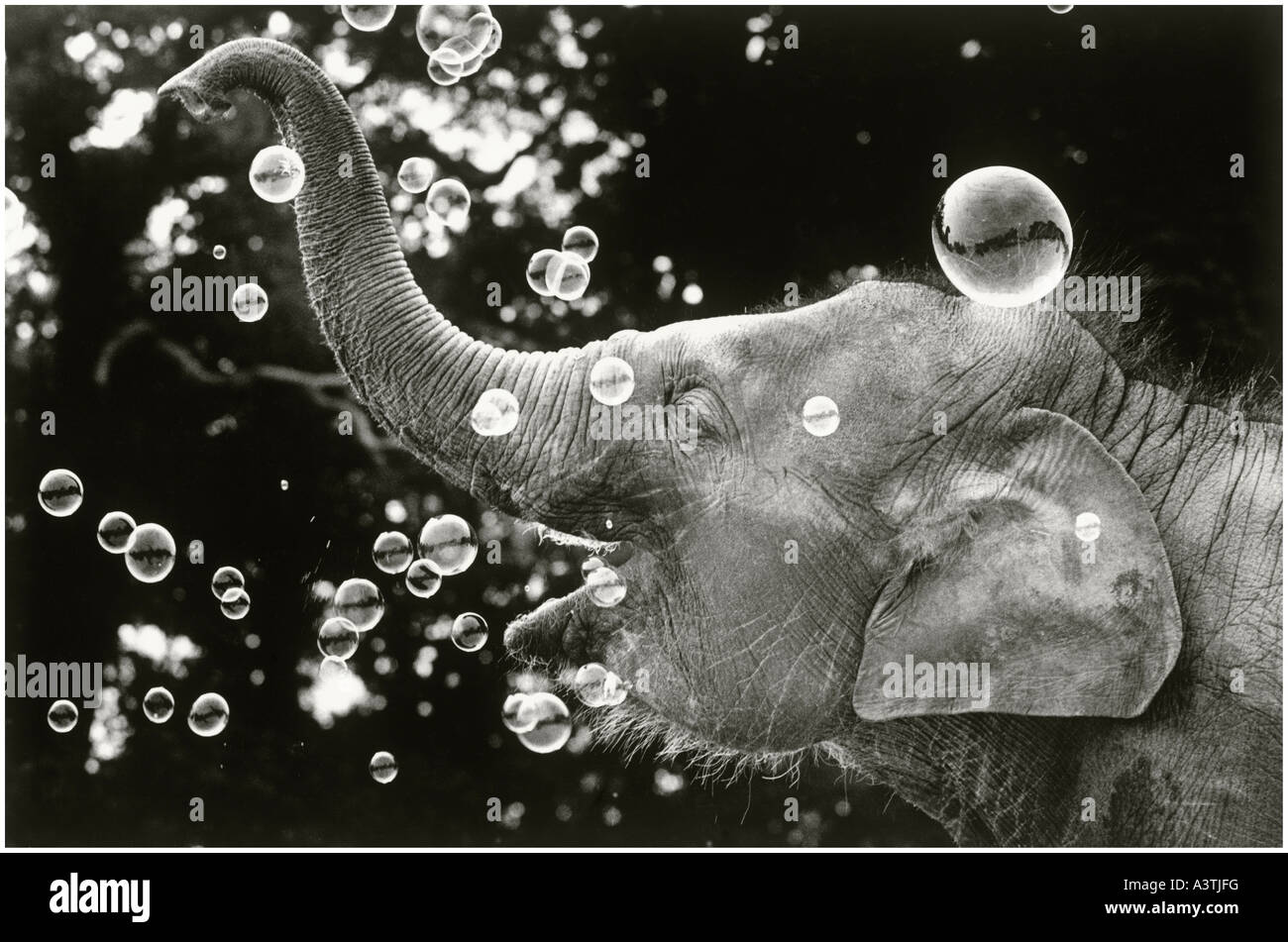 Bella the baby elephant playing with bubbles. - Stock Image