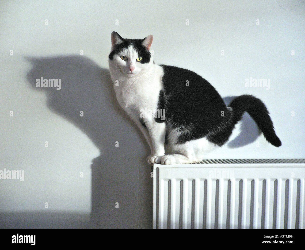 'non-pedigree' 'black and white' female cat sitting on a domestic radiator  casting a shadow Wiltshire - Stock Image