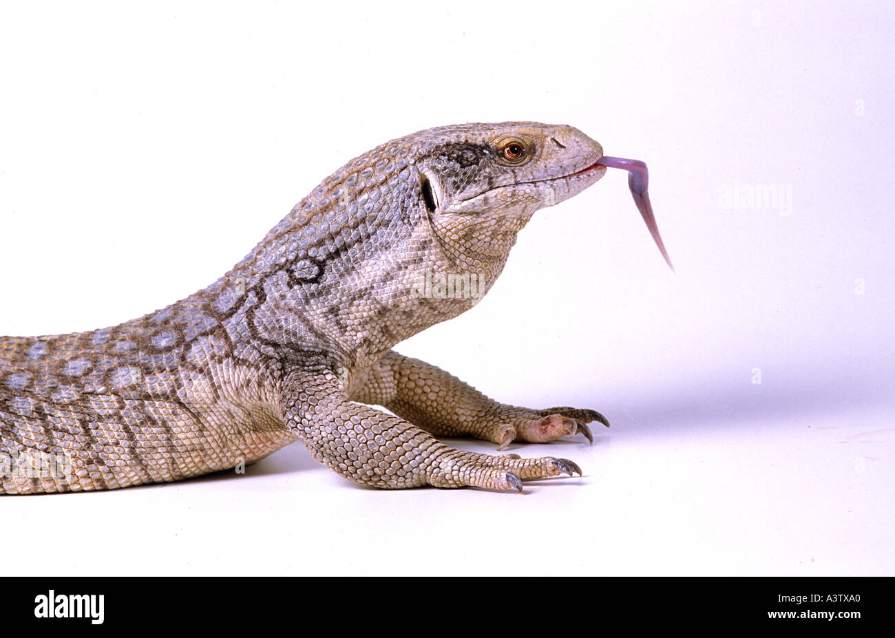 an examination of the savannah monitors lizards How hard are savannah monitors to keep like any monitor lizards they are definitely not a beginner lizard are savannahs show affection towards there owners this is a very debated topic in the reptile community if reptiles can show affection.
