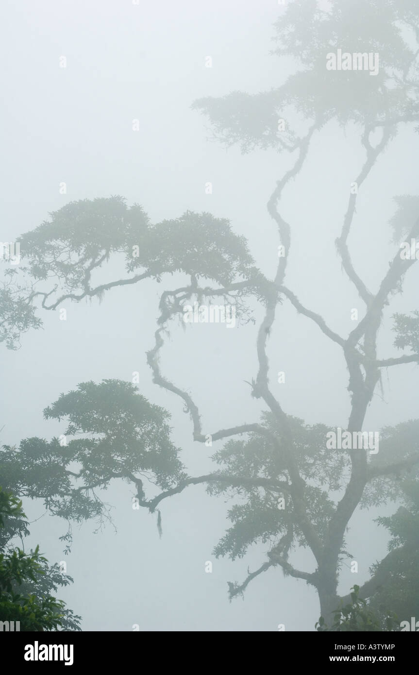 Panama, Darien National Park, Cloud Forest atop Pirre Mountain, ca. 5000 feet - Stock Image