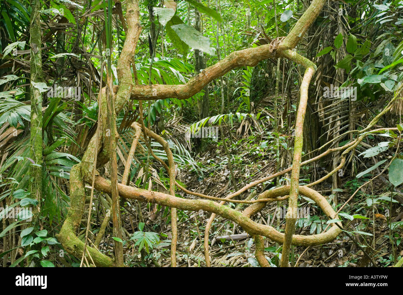 Panama, Darien National Park, Cana area, knotted lianas in rainforest, Darien wilderness - Stock Image