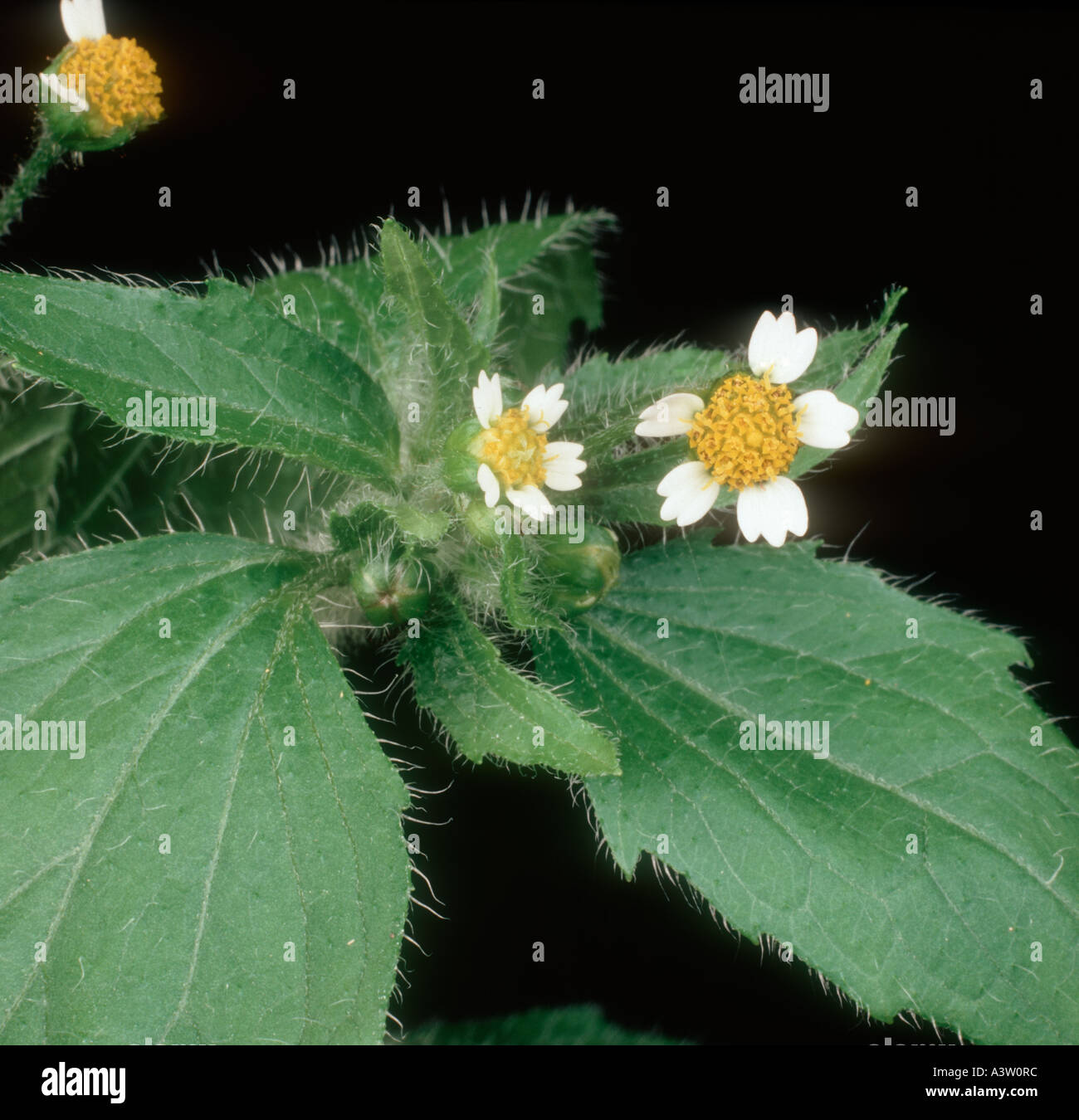 Gallant soldier flowers Galinsoga parviflora - Stock Image