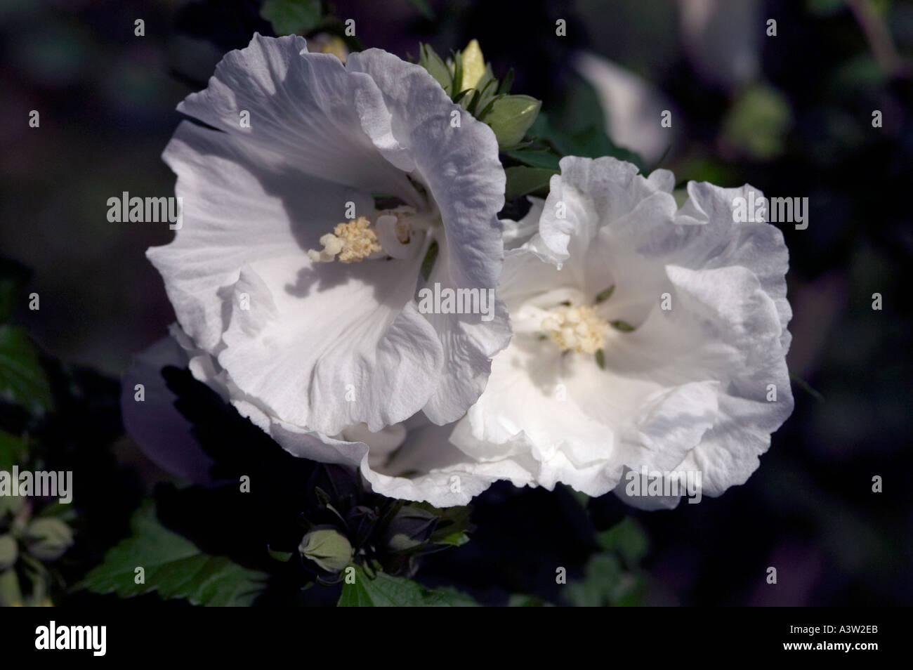 Rose Of Sharon Hibiscus Syriacus Diana Stock Photo 2020074 Alamy
