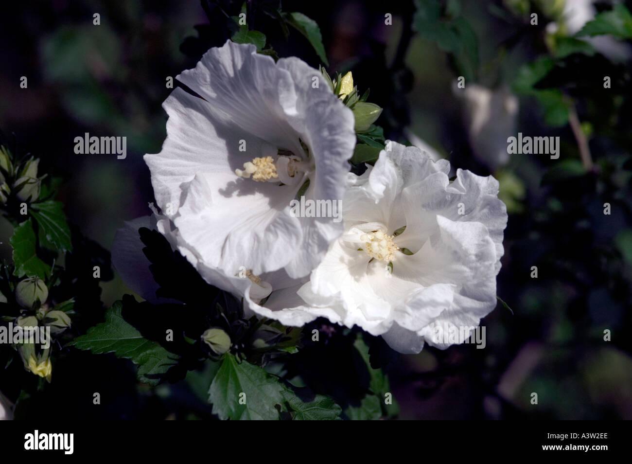 Rose Of Sharon Hibiscus Syriacus Diana Stock Photo 2020077 Alamy