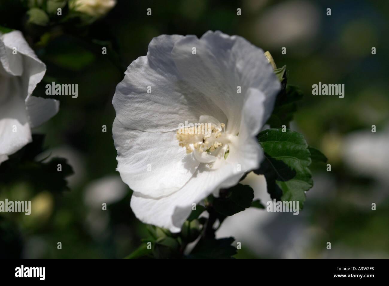 Rose Of Sharon Hibiscus Syriacus Diana Stock Photo 2020087 Alamy