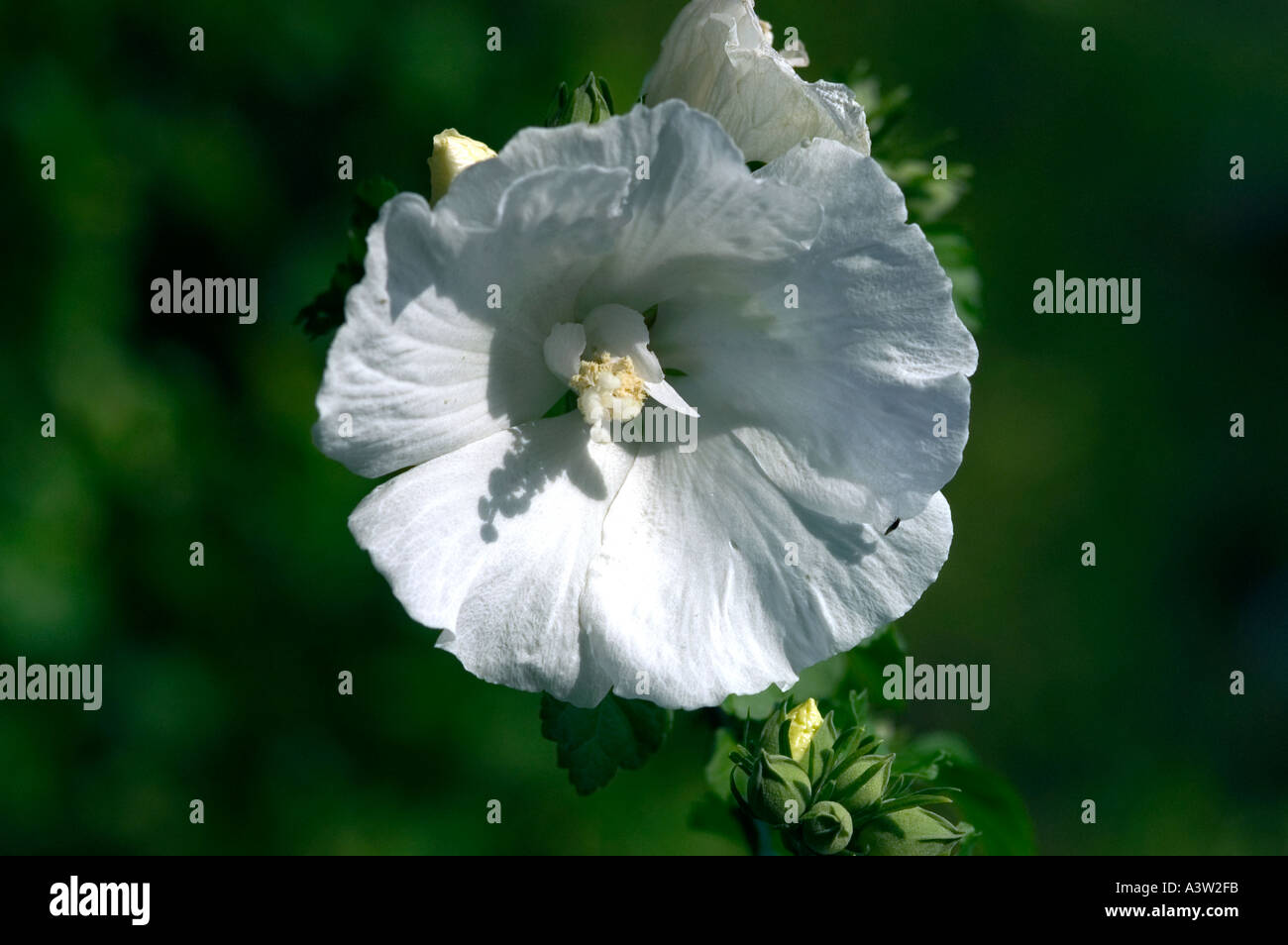 Rose Of Sharon Hibiscus Syriacus Diana Stock Photo 2020090 Alamy