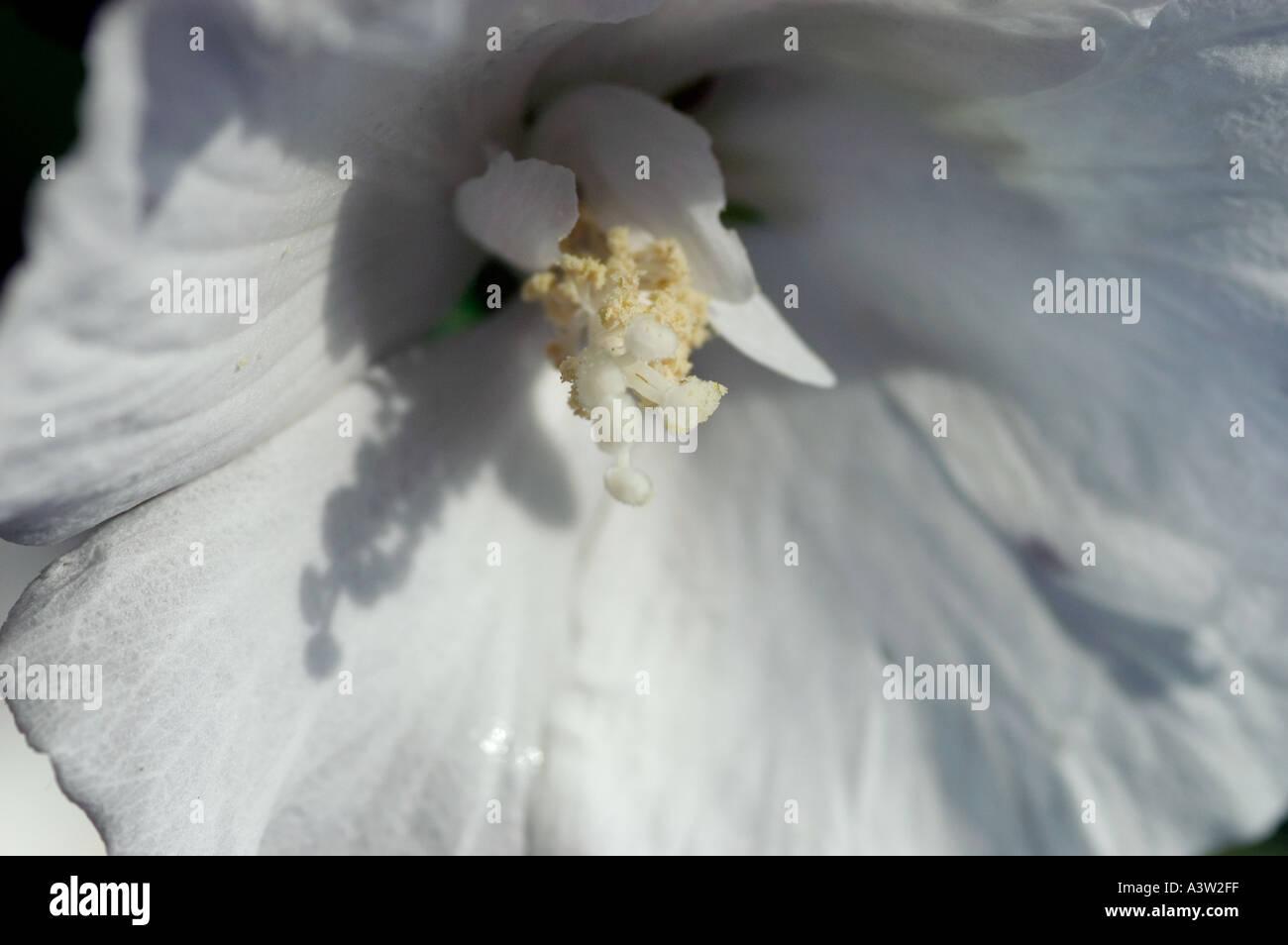 Rose Of Sharon Hibiscus Syriacus Diana Stock Photo 2020094 Alamy