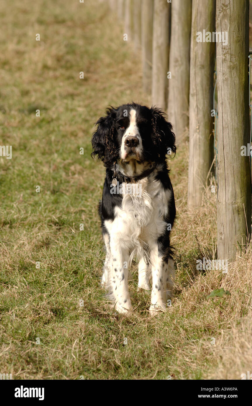 Black white springer spaniel looking towards camera by field fence - Stock Image