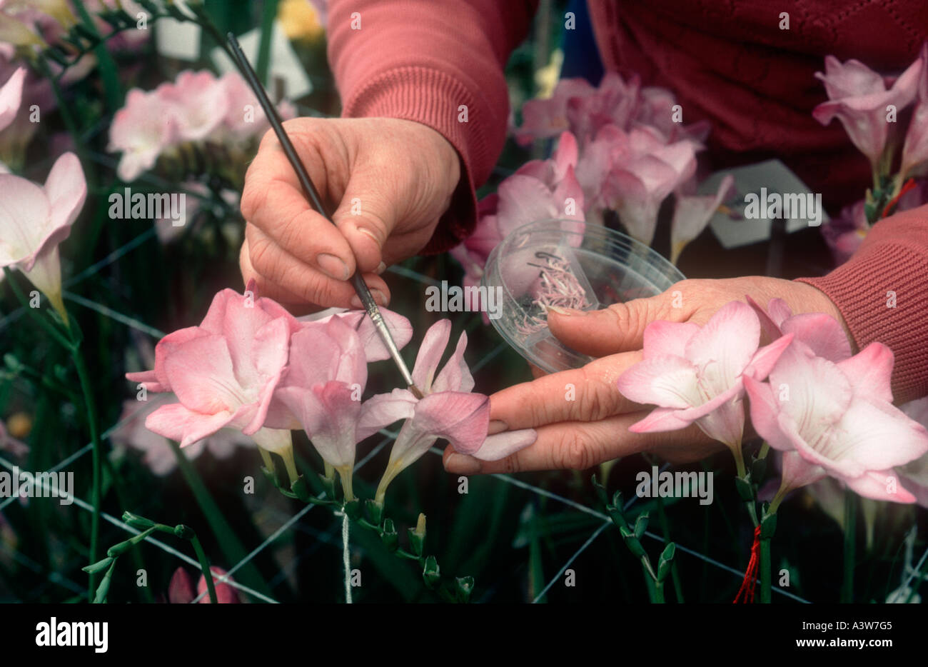 Small artists paint brush cross pollinating freesia flowers in a commercial glasshouse - Stock Image