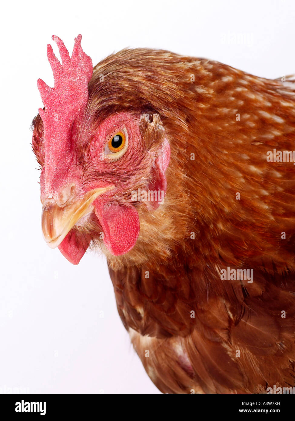The head of a chicken, looking downwards. - Stock Image