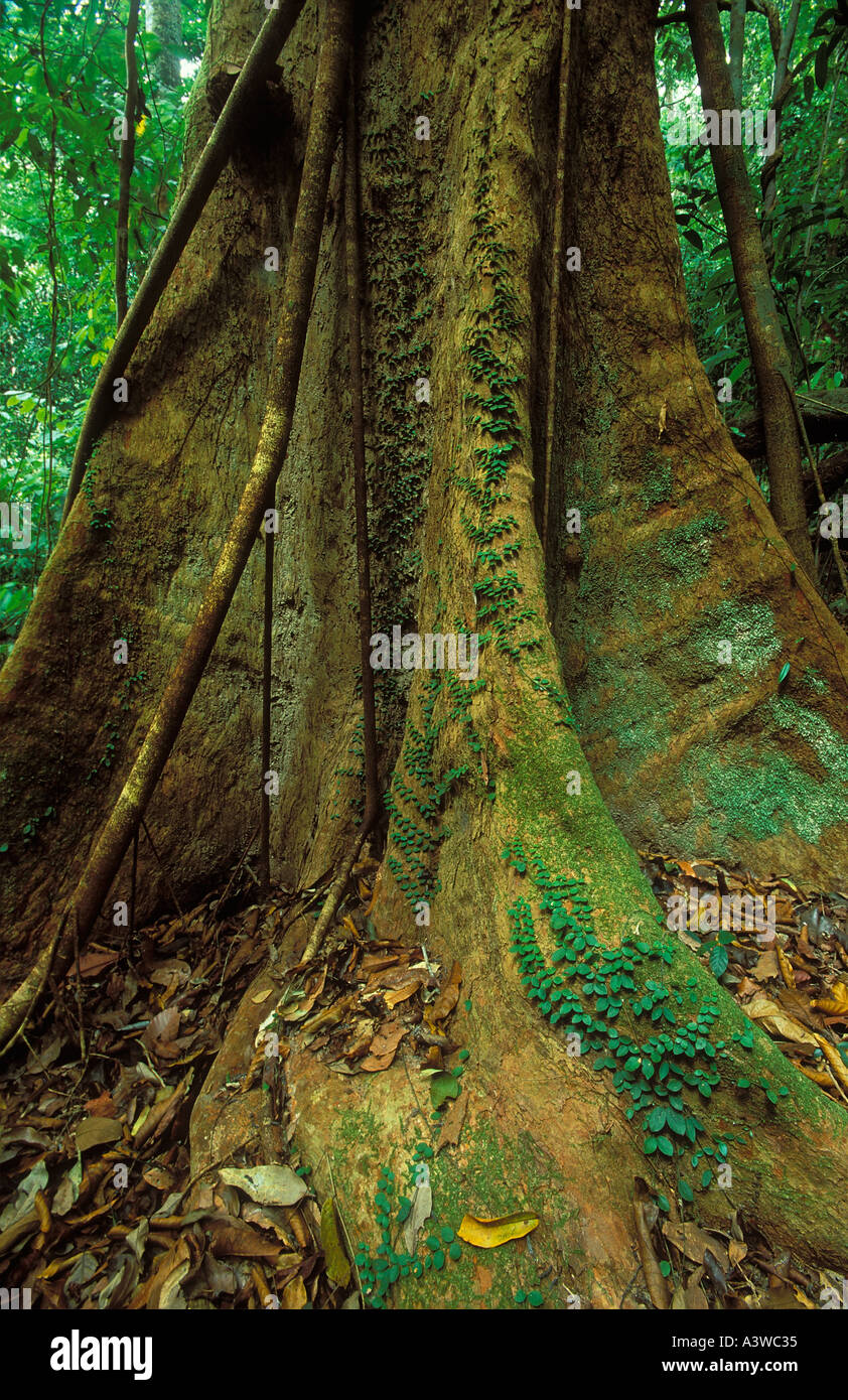 Primary rainforest Langkawi Malaysia Stock Photo